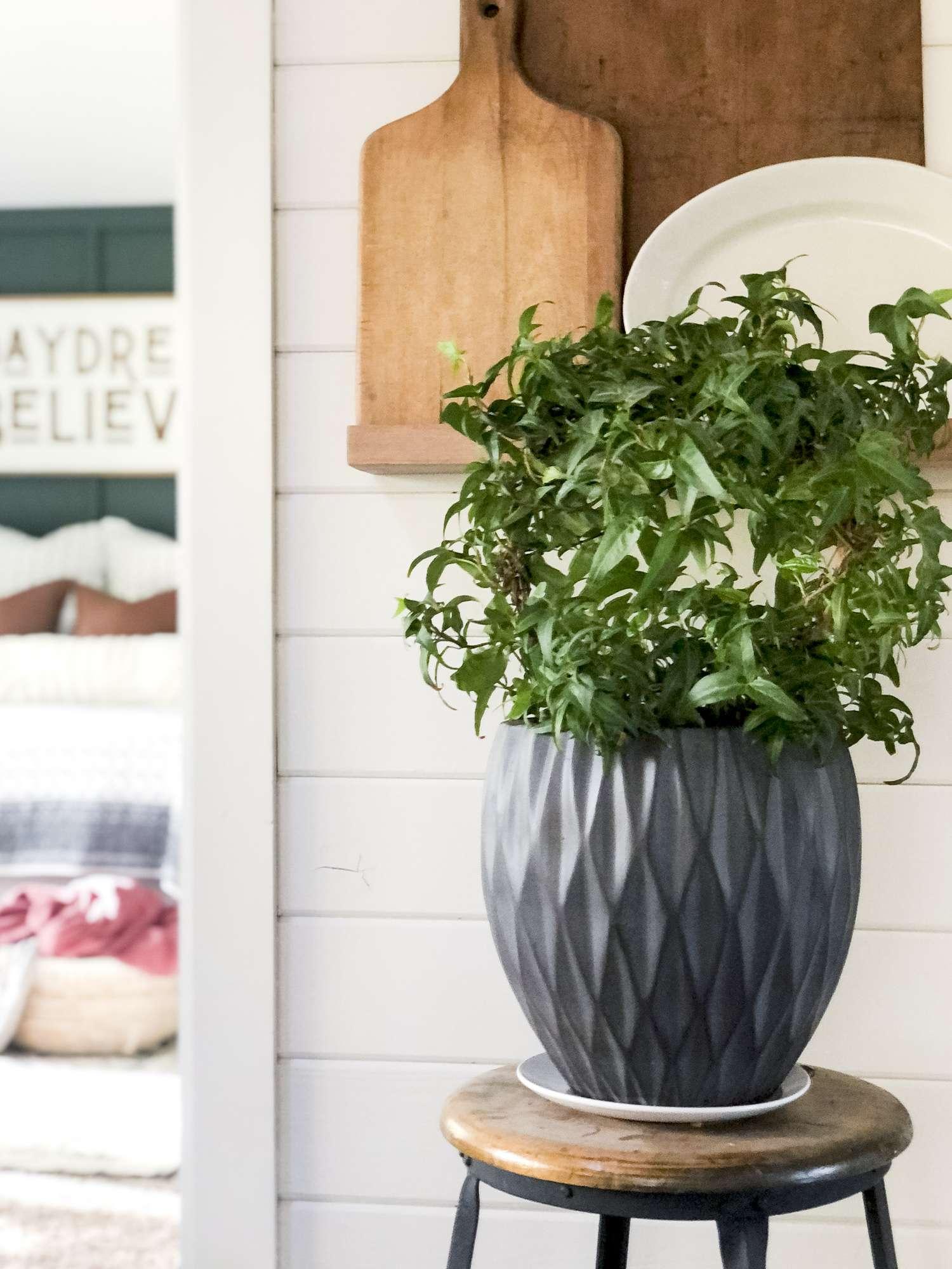 Ivy indoor plant.