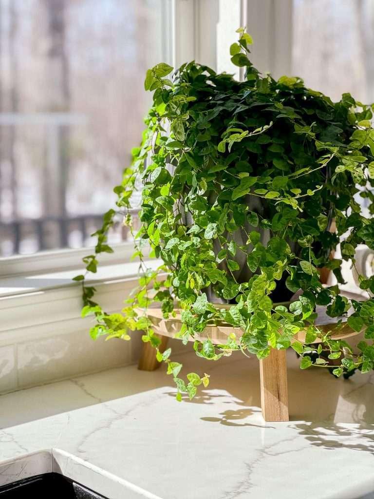 Creeping fig in a window