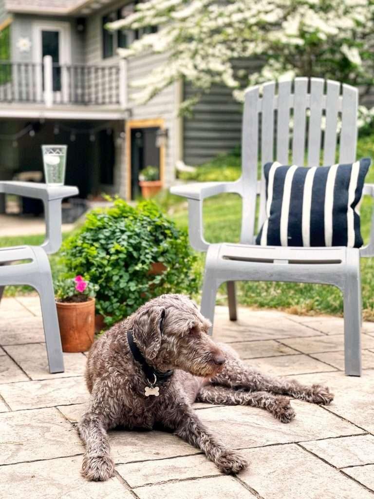 Labradoodle on a patio