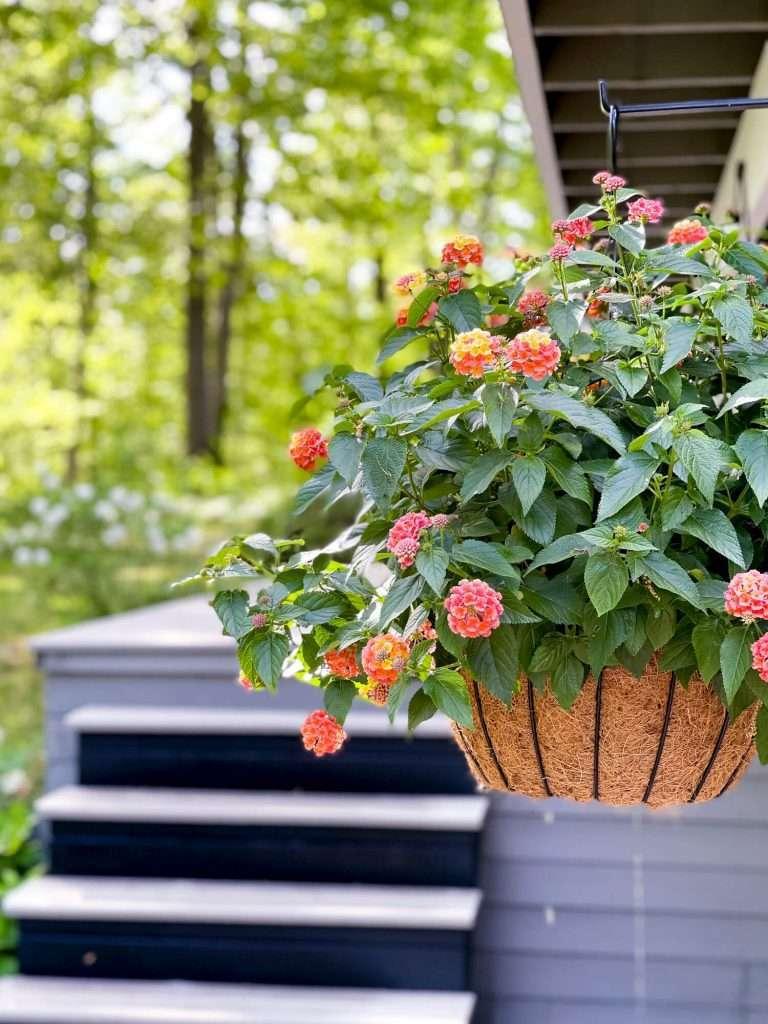 Hanging latana plant