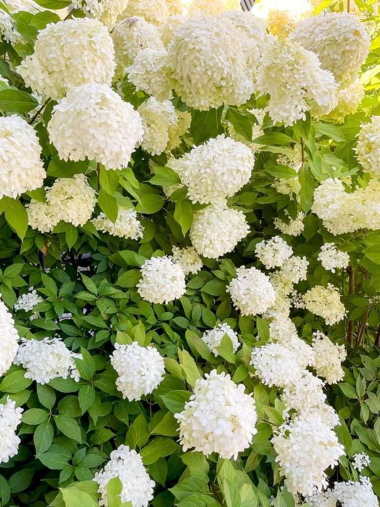 Prolific hydrangea bush