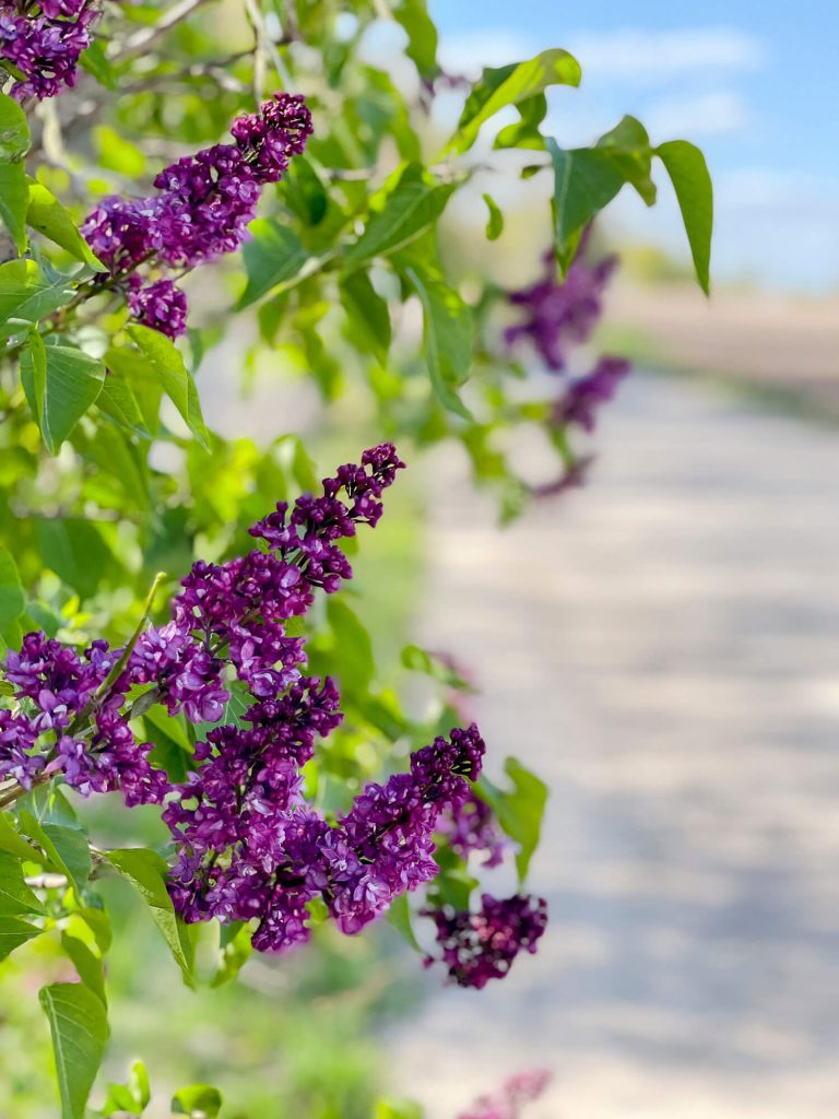 How to start a garden from scratch with lilacs