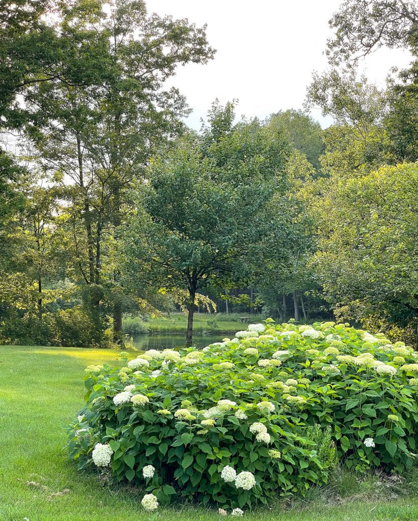 Hydrangeas by a pond